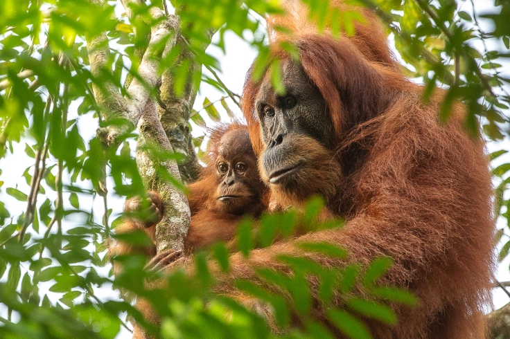Orangutans-1